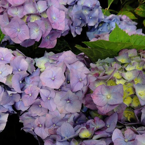 hortensie 39 endless summer 39 hydrangea macrophylla. Black Bedroom Furniture Sets. Home Design Ideas