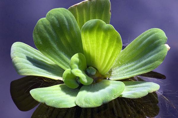 Fabelhaft Einsetzen von Wasserpflanzen - Gartencenter Zulauf - Pflanzen kaufen #OA_55