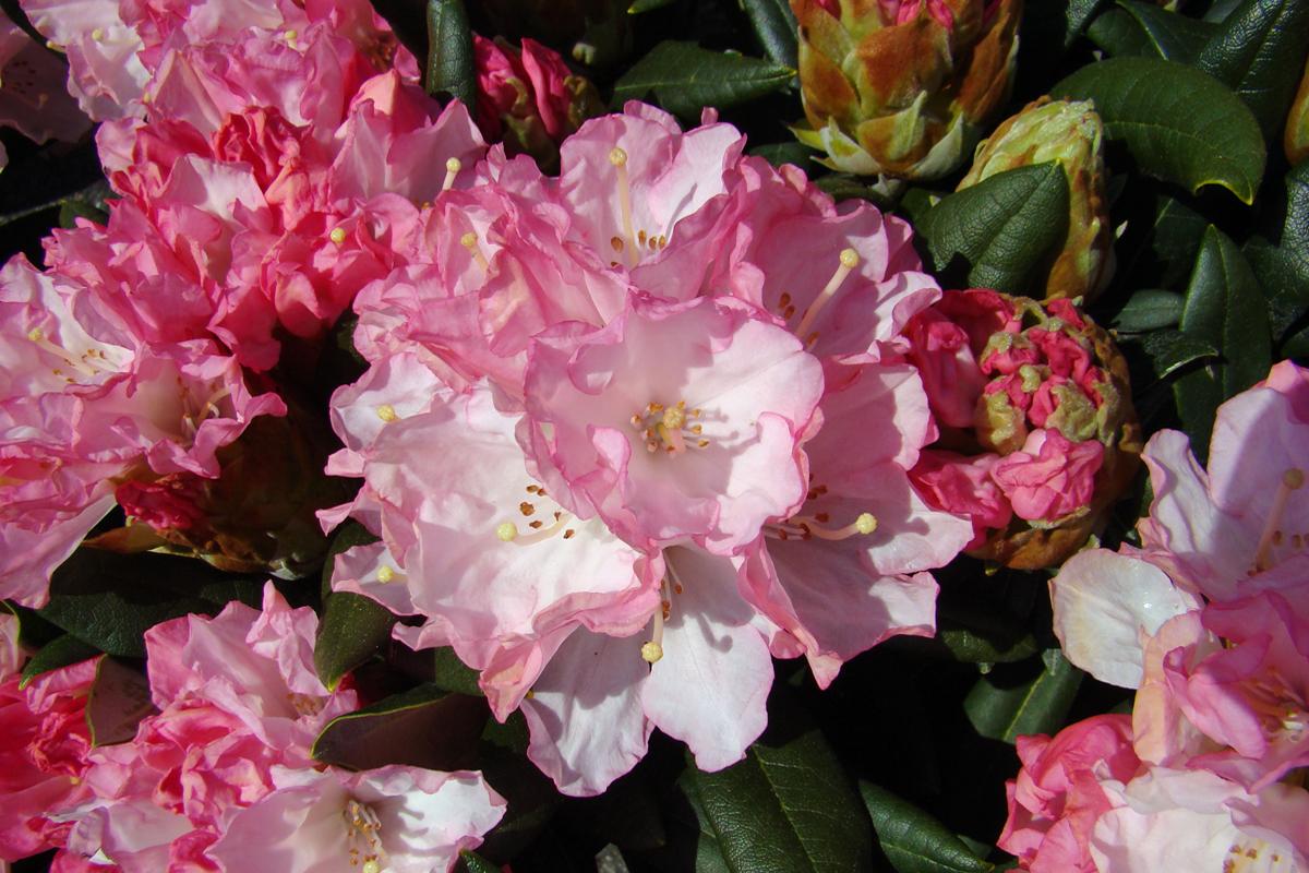 Geliebte Rhododendron pflanzen - Gartencenter Zulauf - Pflanzen kaufen #NJ_35