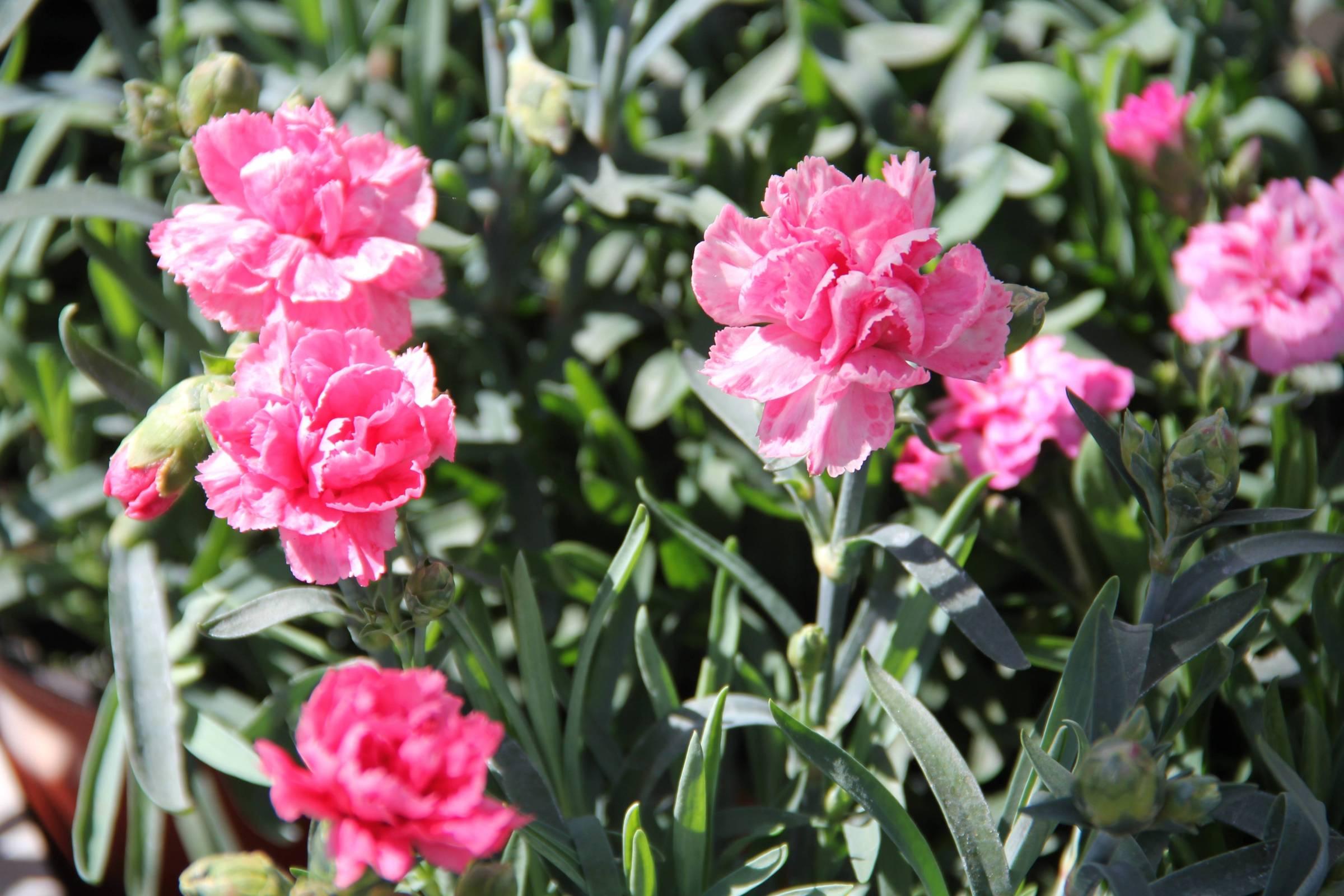 Hängenelken Hängenelkenüberwintern Gartencenter Zulauf Pflanzen kaufen ~ 26155015_Sukkulenten Überwintern Temperatur