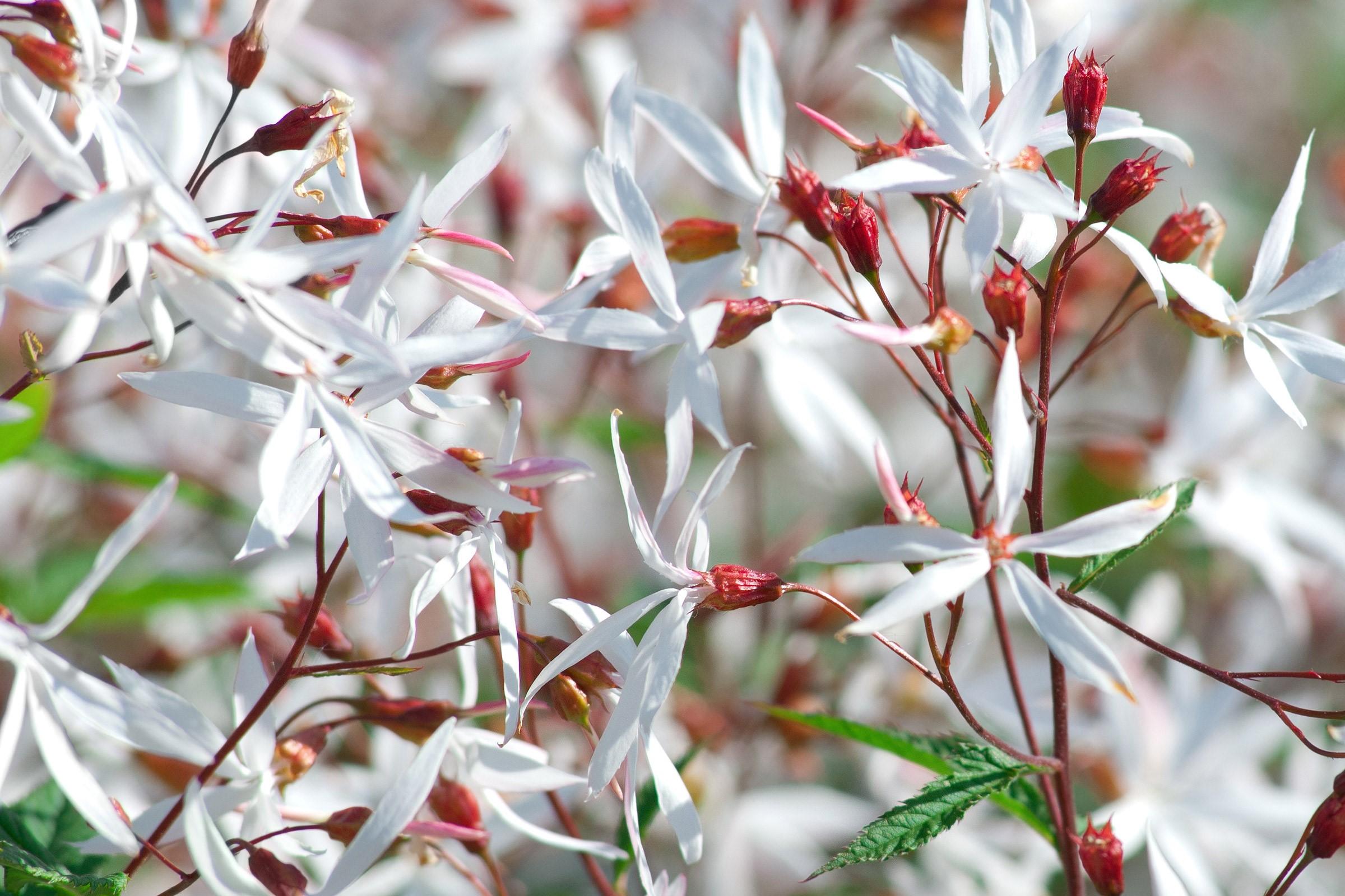 Dreiblattspiere Gillenia Trifoliata Zulauf