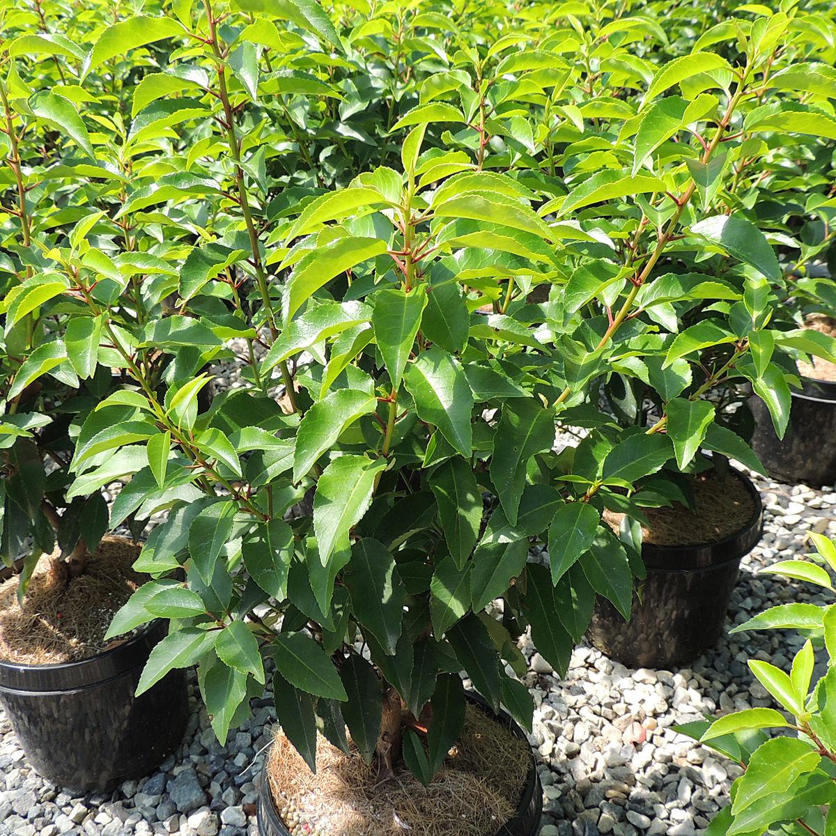 portugiesischer kirschlorbeer 39 angustifolia 39 prunus. Black Bedroom Furniture Sets. Home Design Ideas