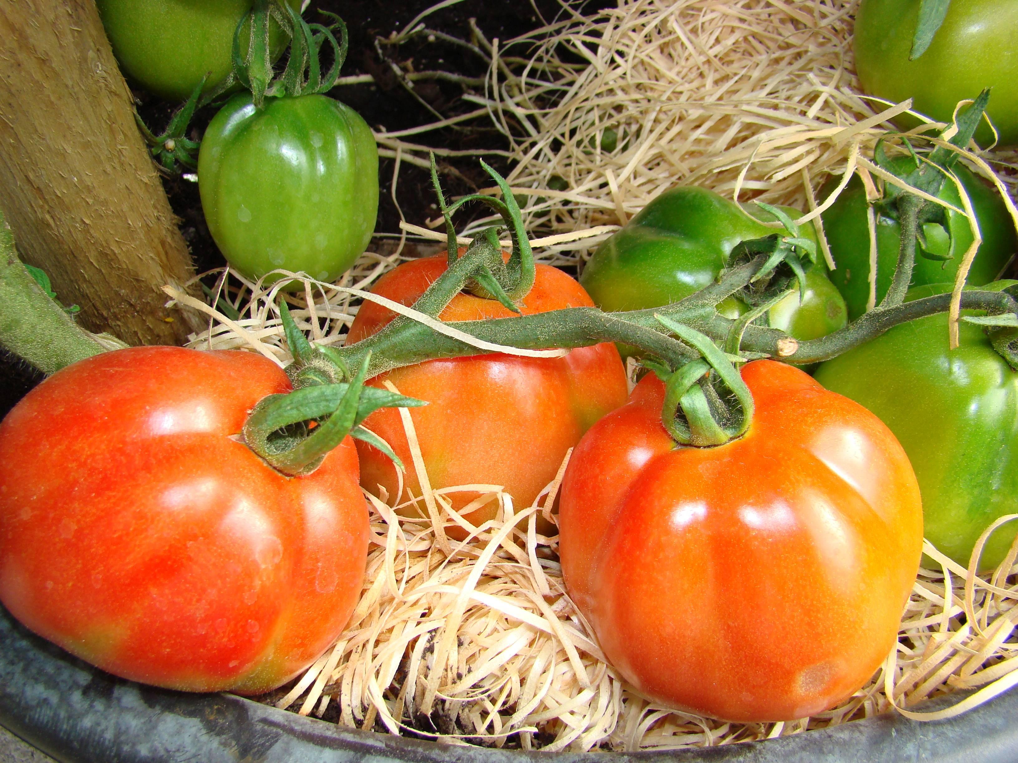 Fabelhaft Tomaten Gelbkragen, Grünkragen, - Gartencenter Zulauf - Pflanzen @MY_44
